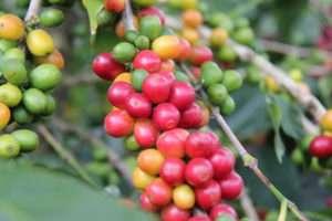 Dominican republic coffee farm Latin America coffee