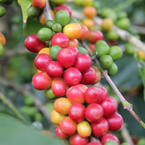 Dominican republic coffee farm