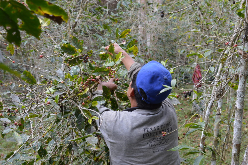 harvesting coffee at La Convencion Peru