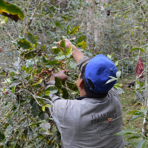 harvesting coffee at La Convencion