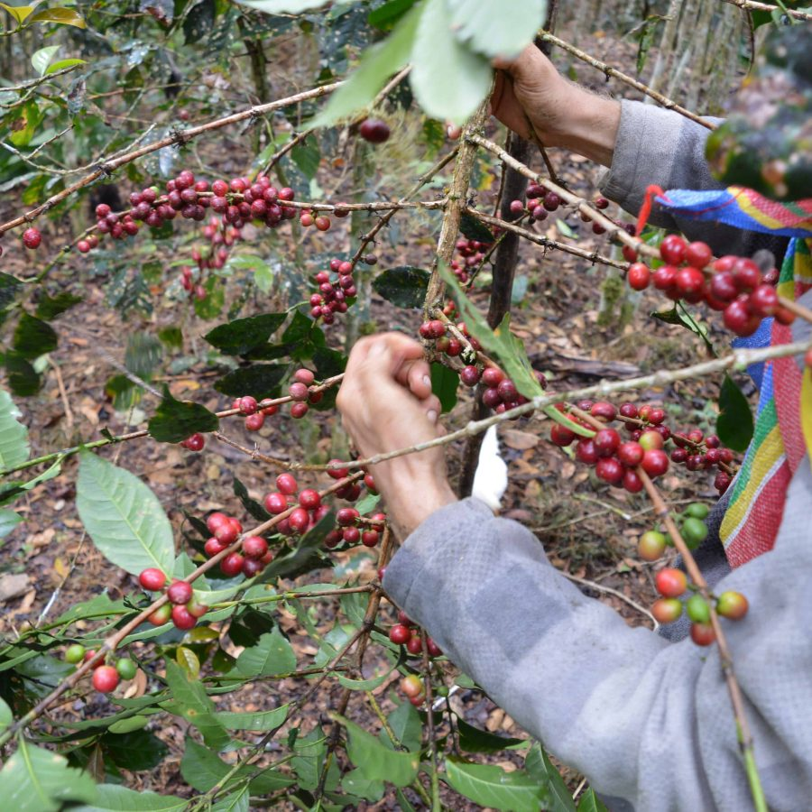 peru coffee cocotu Latin America coffee
