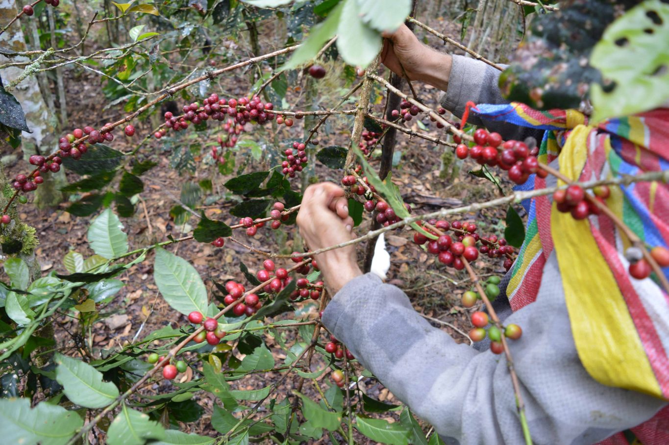 peru_farm_convencion Latin America coffee