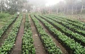 Panama honey processed coffee coffee sun drying Latin America coffee