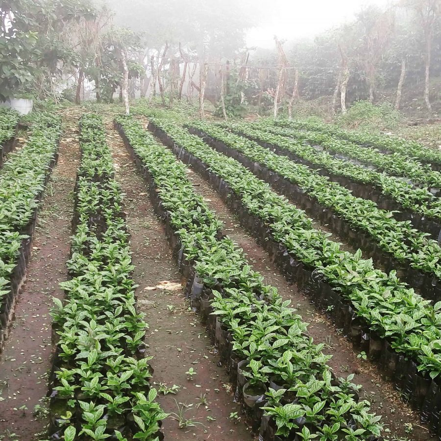 Panama coffee farm COCOTU
