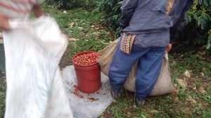 panama cocotu harvest coffee sun drying Latin America coffee