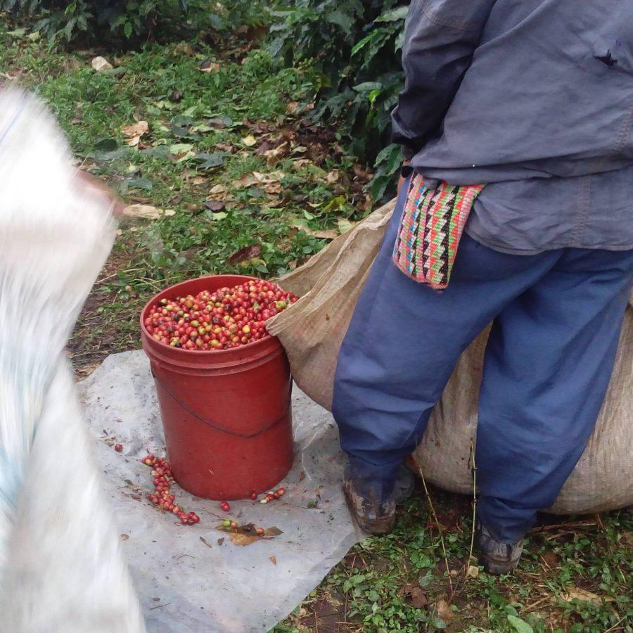 panama cocotu harvest