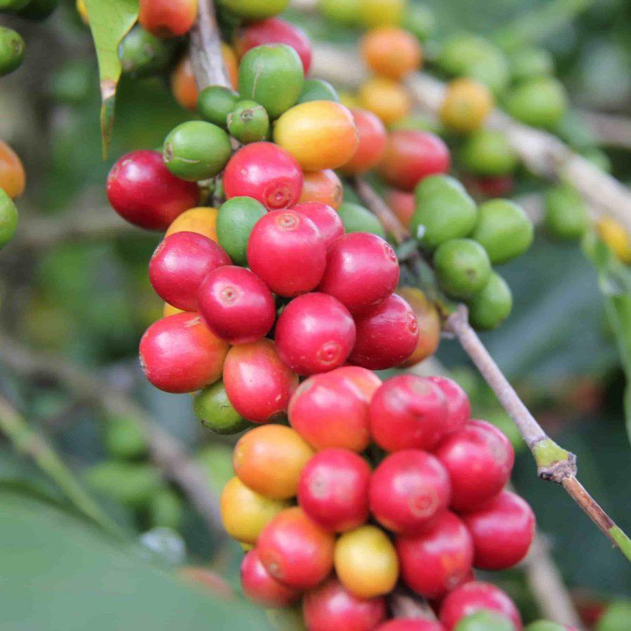 dominican republic specialty coffee