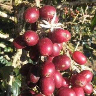 Honduras specialty coffee