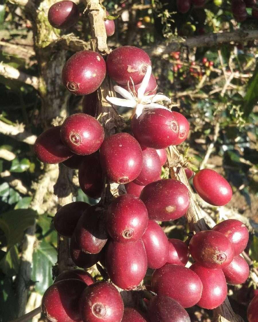Honduras specialty coffee