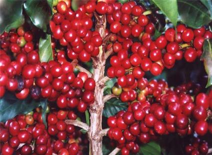 cocotu_farm_honduras_trees