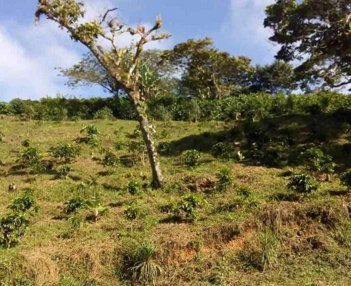 Coffee Harvest at Danli, Honduras Finca La Perseverancia