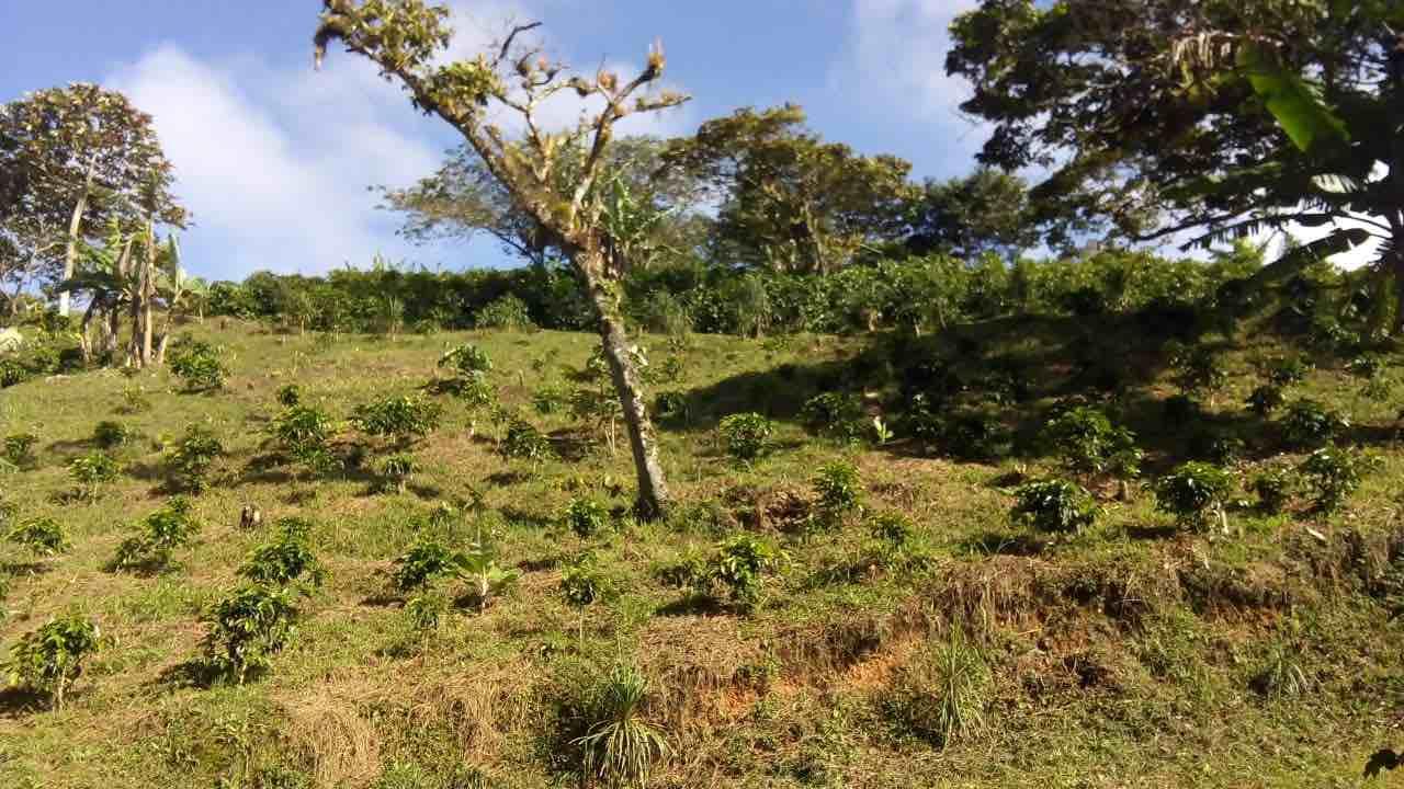 Coffee Harvest Honduras at Finca La Perseverancia in Danli
