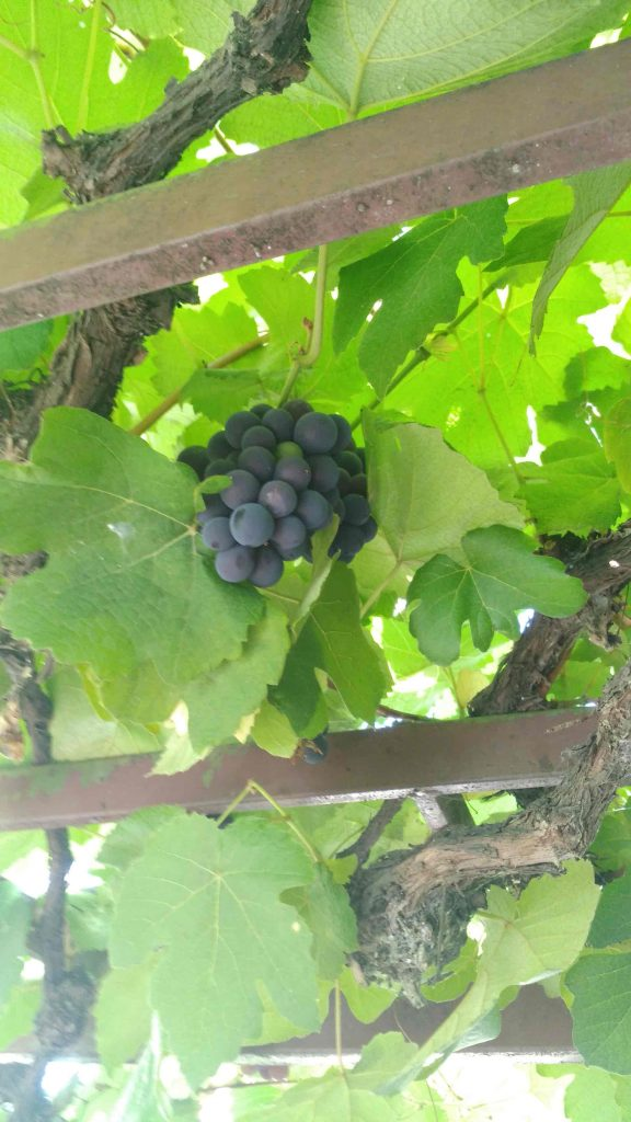 Quillabamba home grown grapes