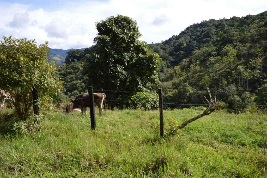 Cows at coffee farm in Chiriqui