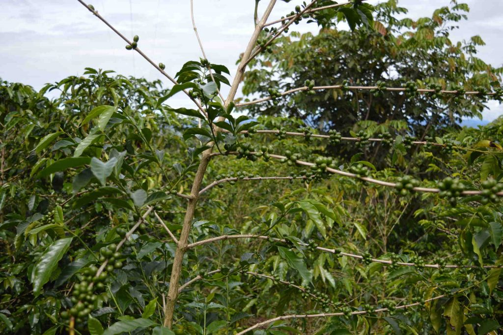Coffee tree Caturra variety in Chiriqui