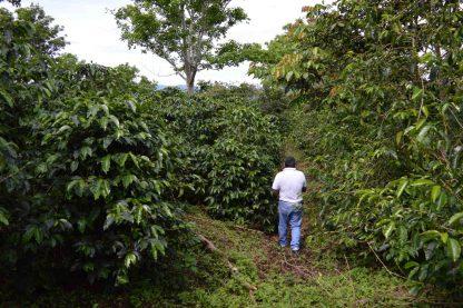 panama caturra washed coffee