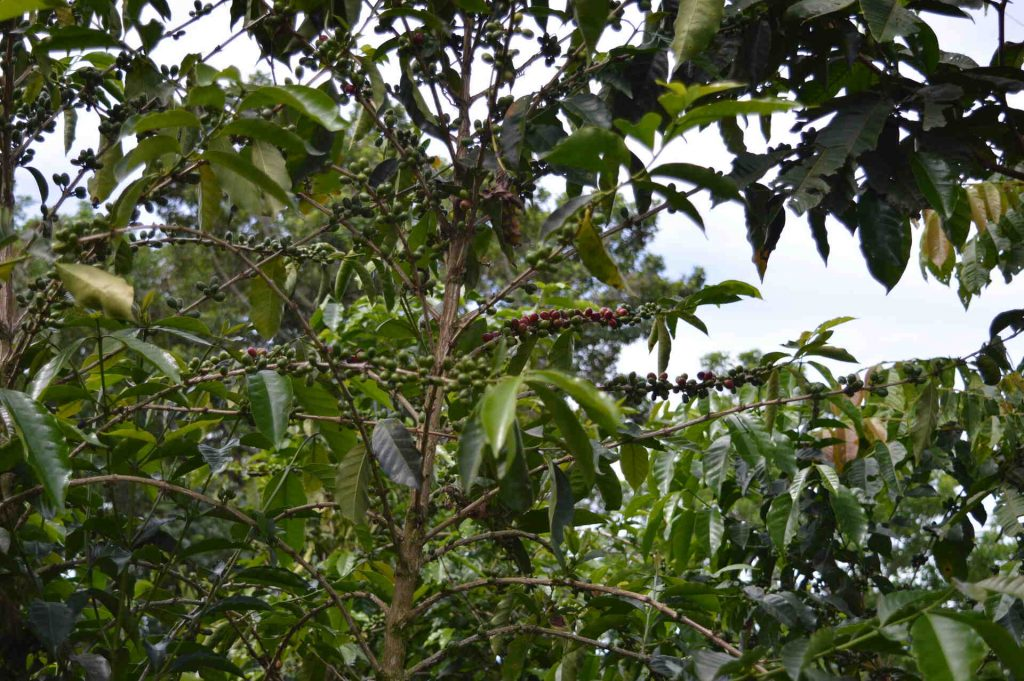 Coffee tree with cherries at farm Chiriqui Panama