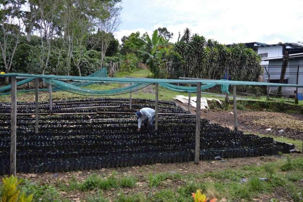 Baby coffee plants growing in Chiriqui Panama