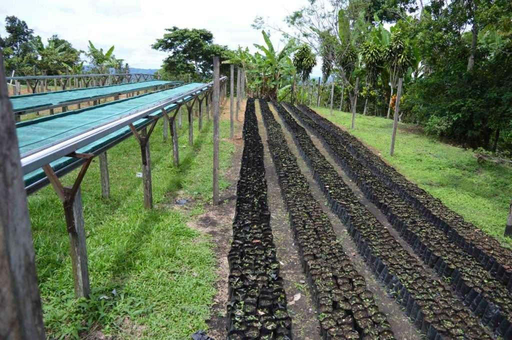 Baby coffee plants Chiriqui Panama