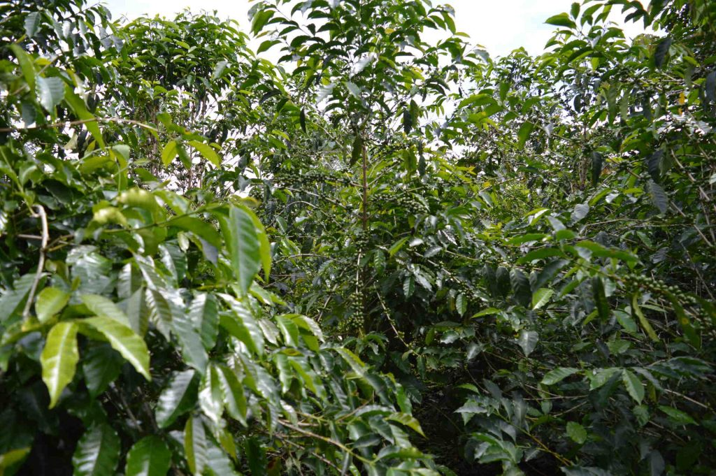 Chiriqui Province Specialty Coffee