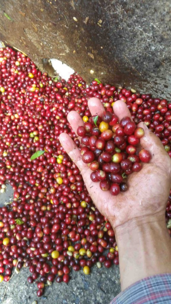 Red and yellow Coffee cherries in Honduras