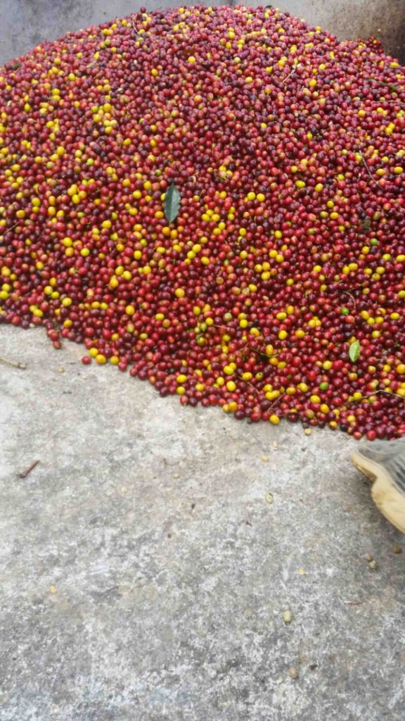Honduras coffee cherries red and yellow