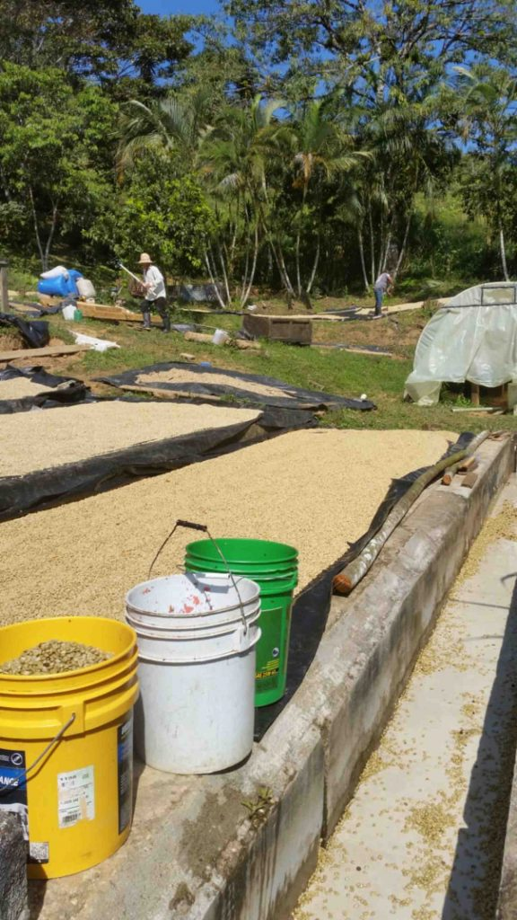 Honduras coffee harvest drying coffee on the ground