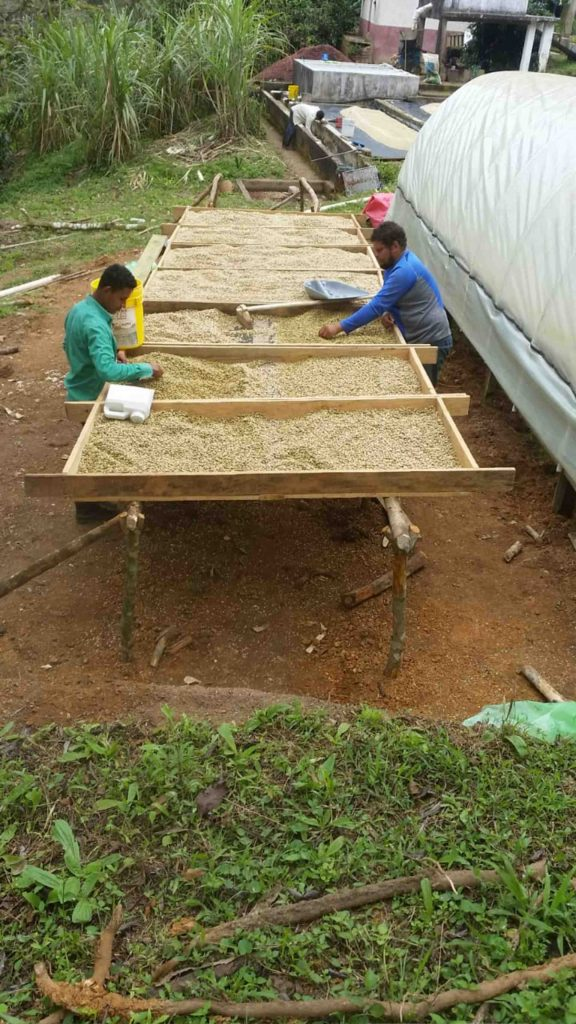 Honduras coffee harvest drying beds