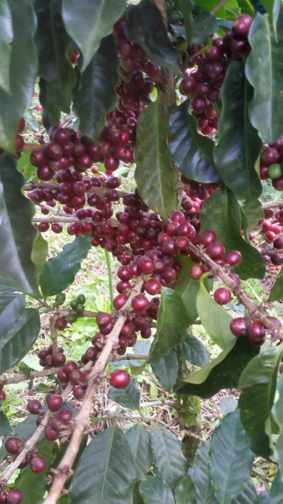 Coffee plant with red cherries in Honduras