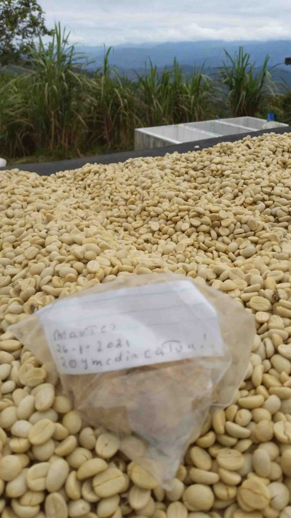 Honduras coffee drying on the ground catuai variety