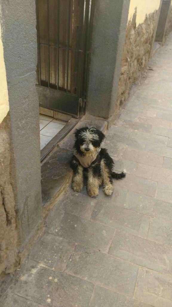 Beautiful stray dog in Cusco